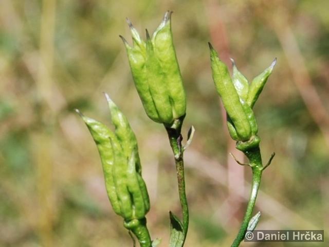 Aconitum variegatum