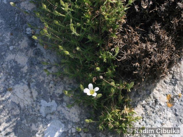 Arenaria grandiflora