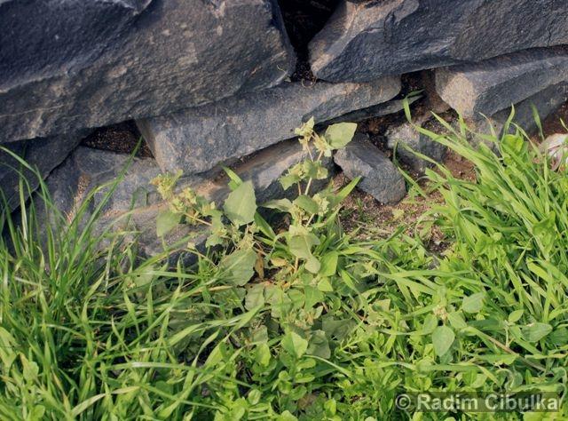 Atriplex rosea