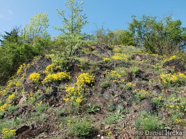 Aurinia saxatilis subsp. arduinii