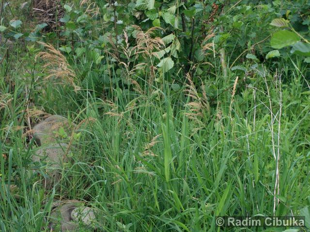 Calamagrostis pseudophragmites
