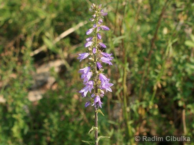 campanula-bononiensis1