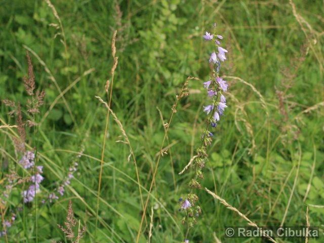 campanula-bononiensis2