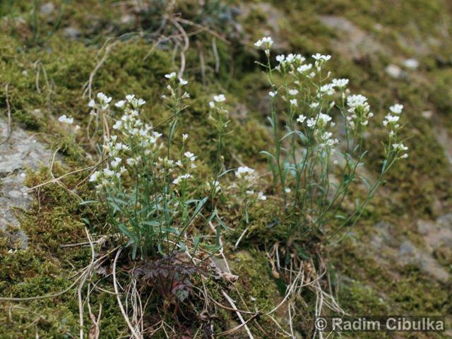 cardaminopsis-petrea1