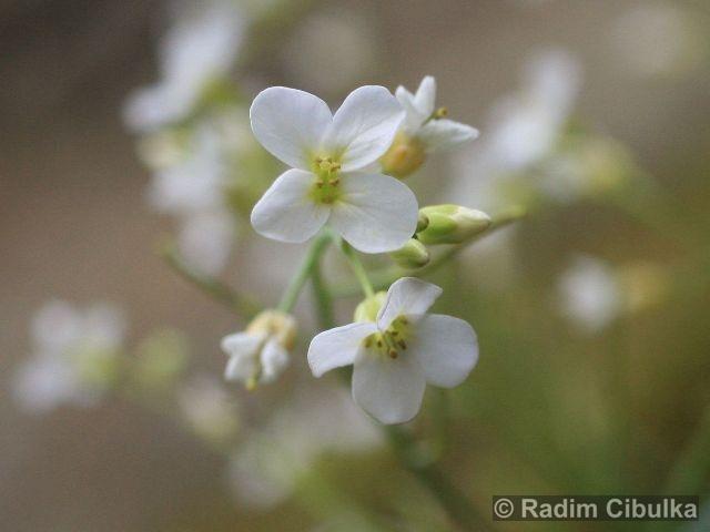 cardaminopsis-petrea2