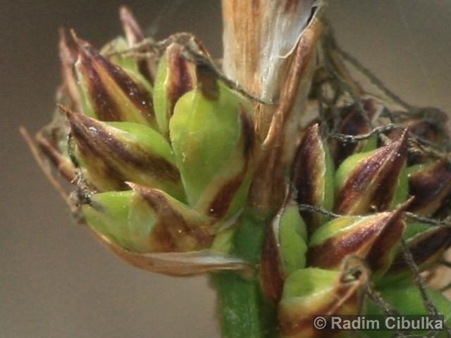 Carex fritschii