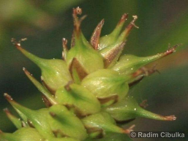 Carex lepidocarpa 3