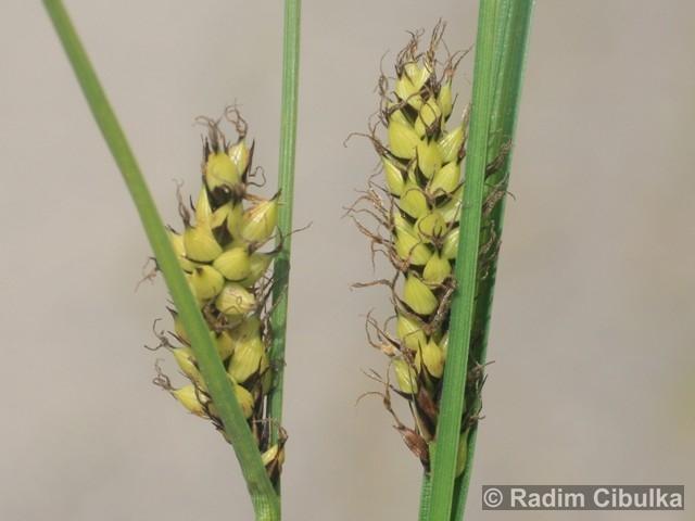 Carex melanostachya
