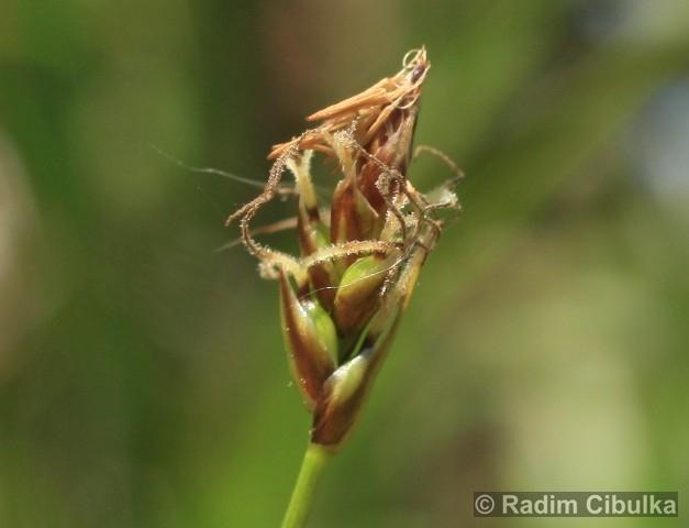 Carex obtusata
