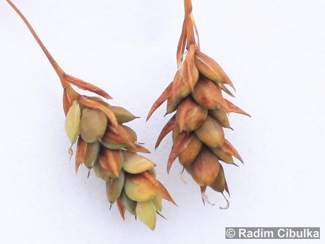 Carex paupercula
