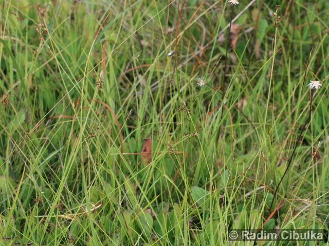 Carex pulicaris
