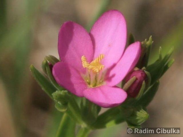 Centaurium littorale subsp. compressum