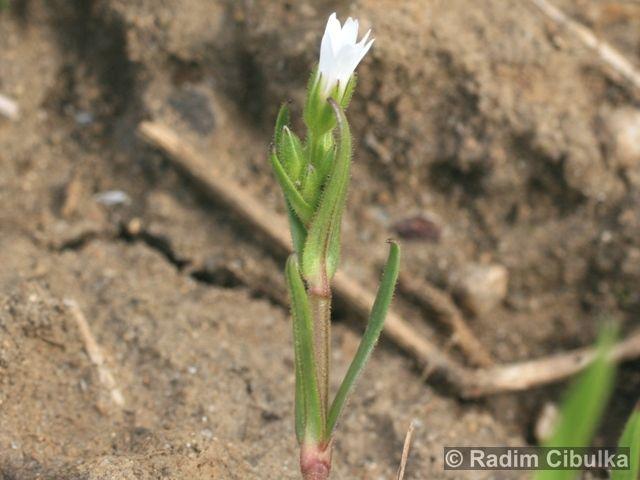 Cerastium dubium