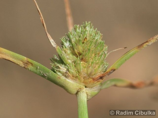 Cyperus michelianus