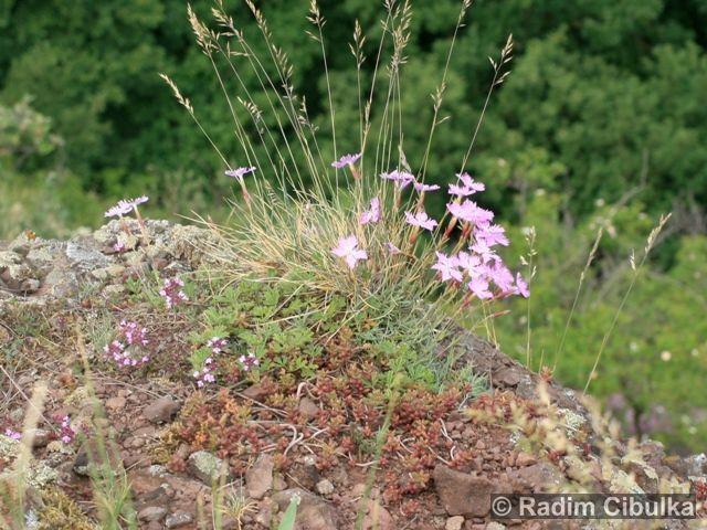 Dianthus moravicus