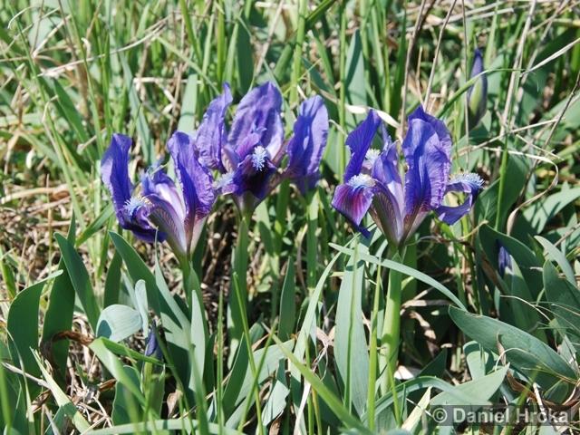 Divoká Šárka, Šestákova skála, Iris pumila