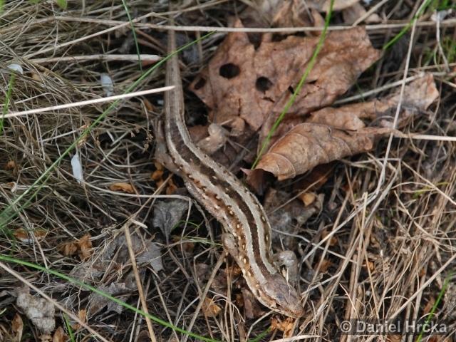 Divoká Šárka, Šestákova skála, ještěrka obecná