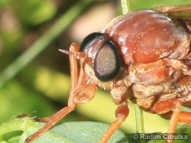 Coenomyia ferruginea