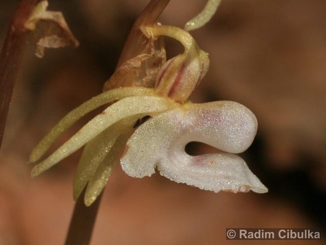 epipogium-aphyllum3