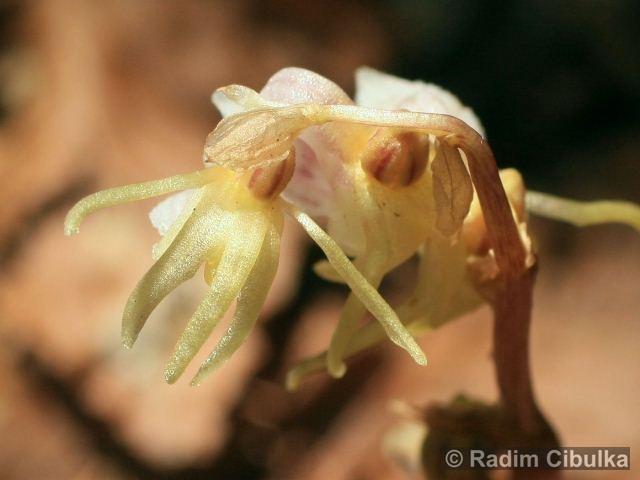 epipogium-aphyllum4