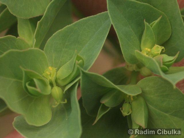 Euphorbia falcata