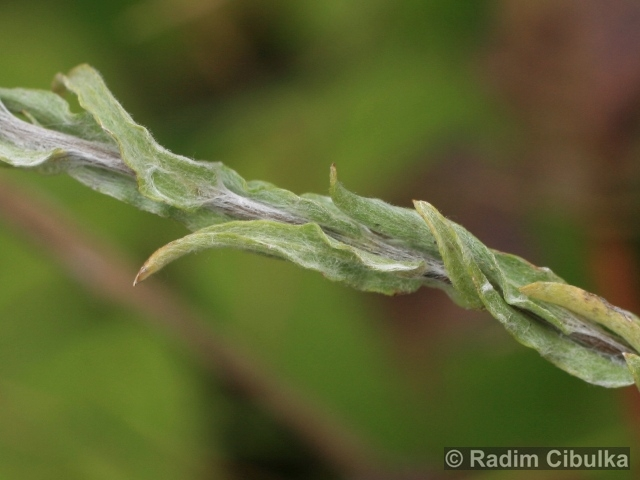 Filago vulgaris