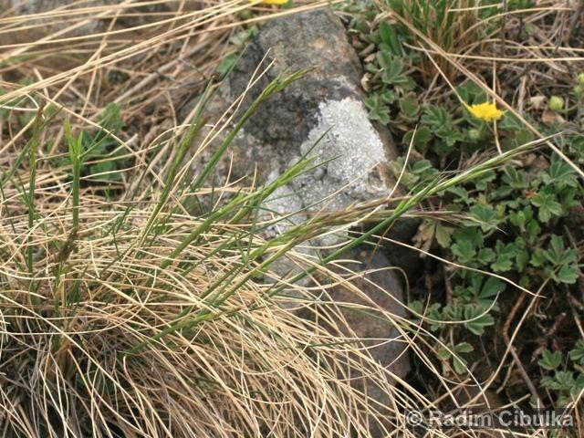 Helictotrichon desertorum