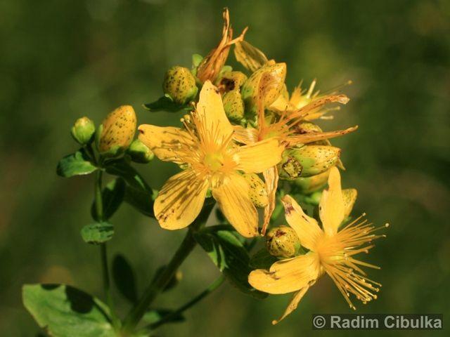 Hypericum maculatum