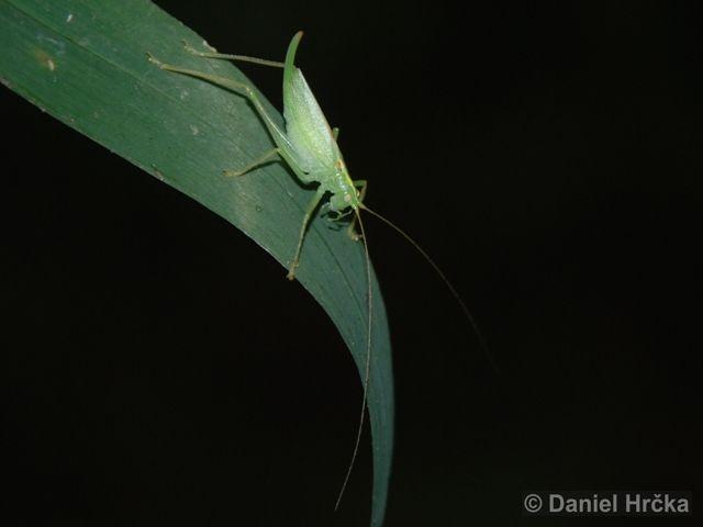 kobylka dubová