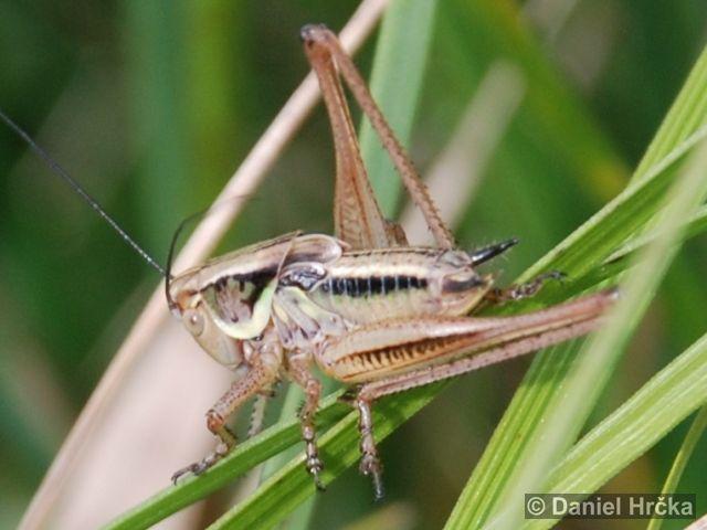 kobylka luční