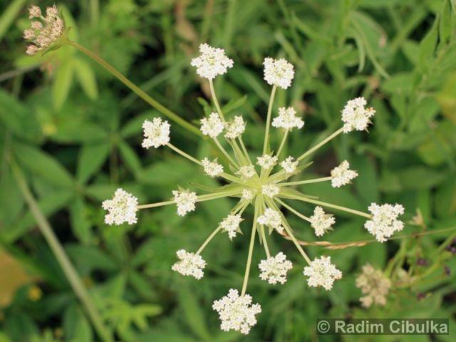 Laserpitium pruthenicum