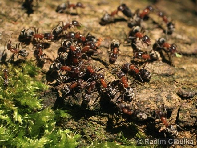 Mravenec lužní
