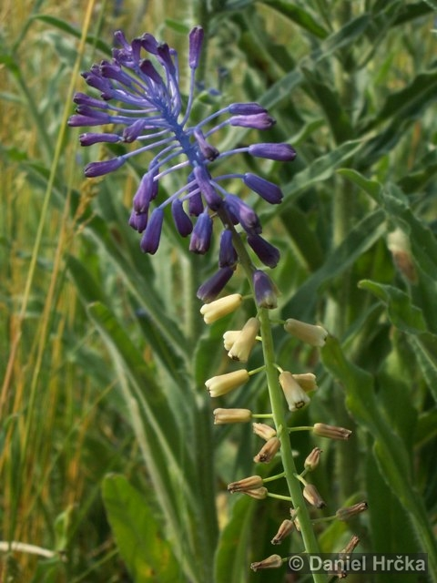 Muscari tenuiflorum