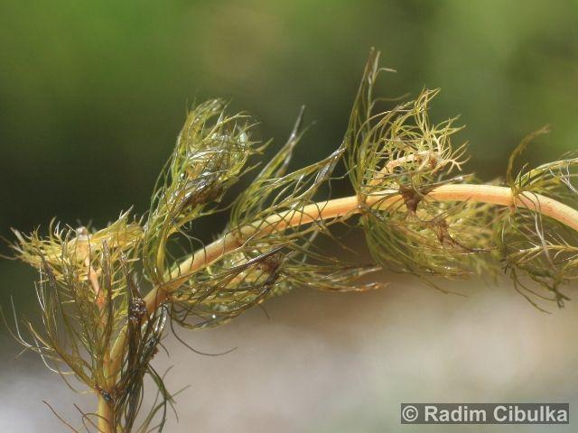 Myriophyllum alternifolium