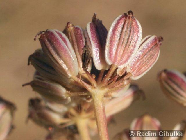 Peucedanum alsaticum
