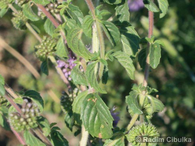 Pulegium vulgare