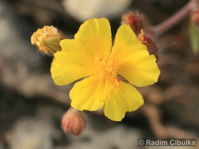 helianthemum-canum2