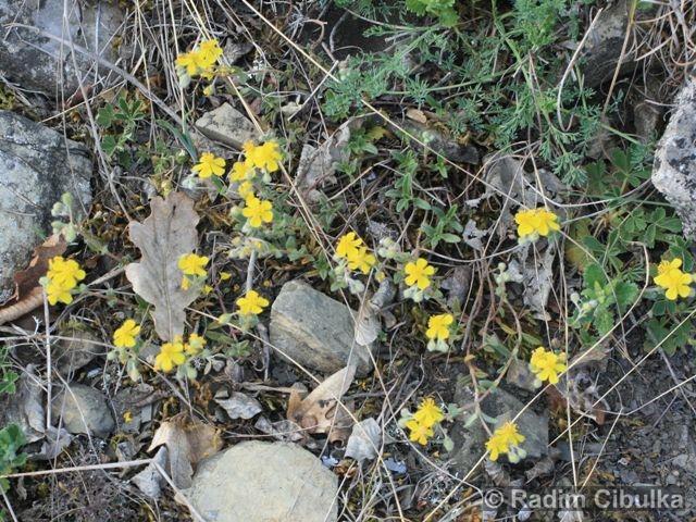 helianthemum-canum3