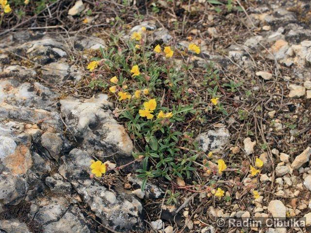 helianthemum-canum4