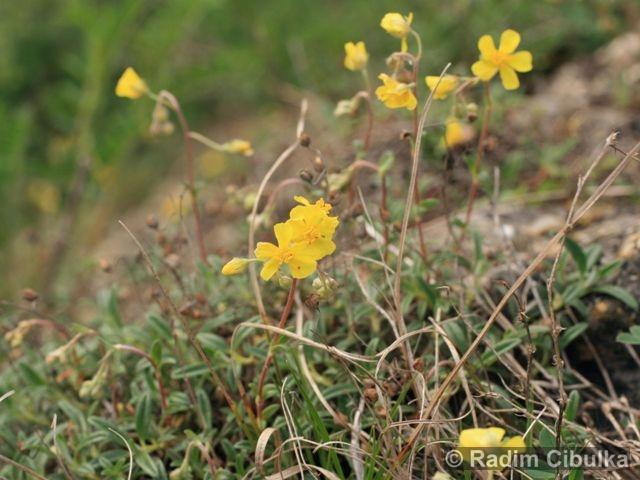 helianthemum-canum5