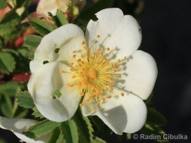 Rosa spinossisima