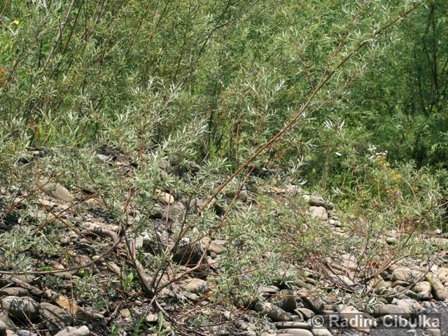 Salix elaeagnos