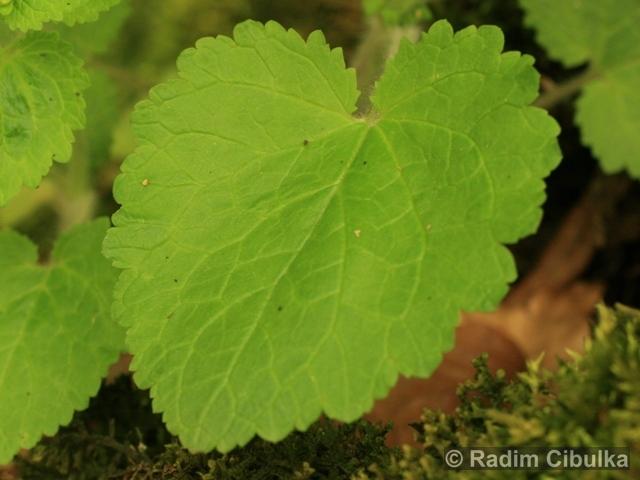 Scrophularia vernalis