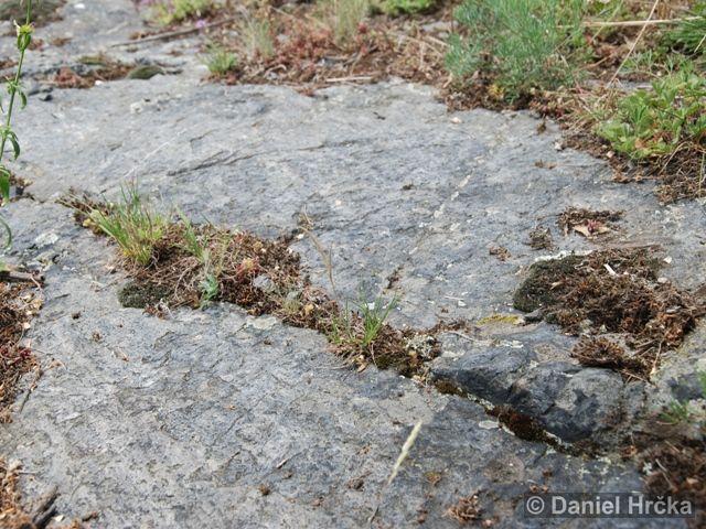 skákavka rudopásá