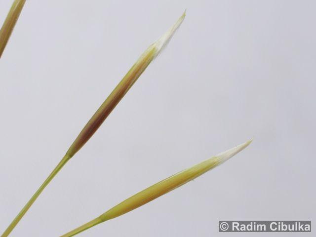 Stipa borysthenica