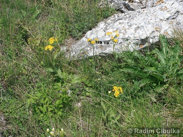 Tephroseris integrifolia