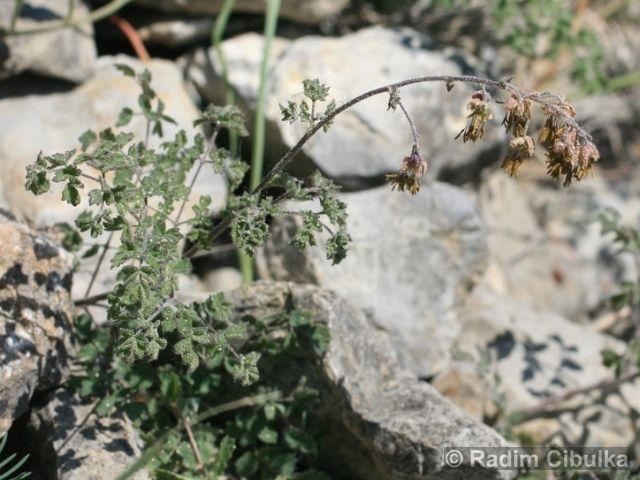 Thalictrum foetidum