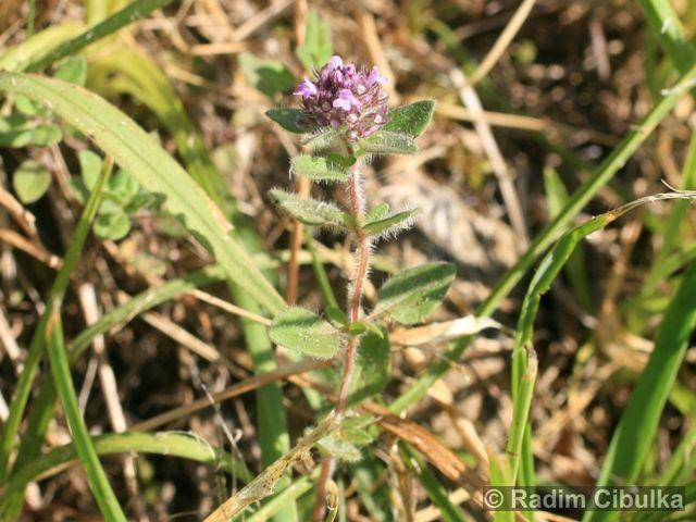 THYMUS PULEGIOIDES subsp. CARNIOLICUS