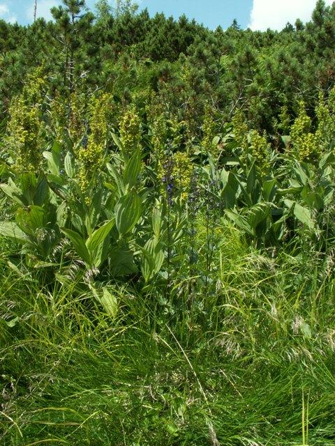 Aconitum plicatum,oměj šalamounek