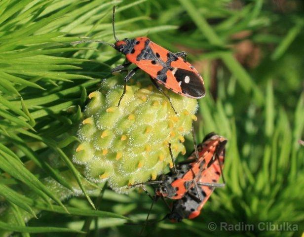 Adonis vernalis, hlaváček jarní